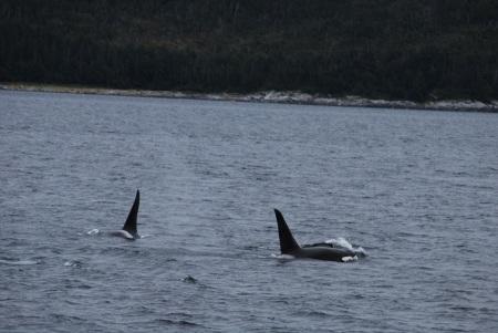 Male orcas