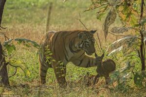 Tiger Fawn