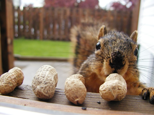 Image result for squirrel with nuts images